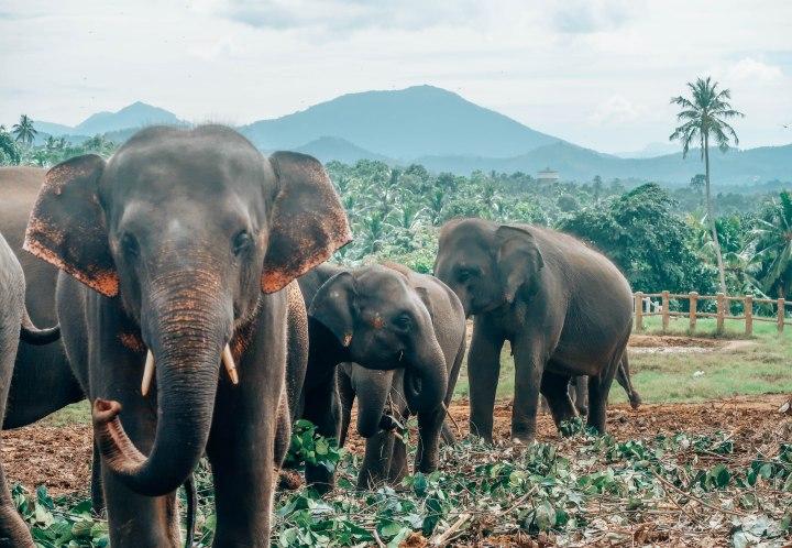 Do Not Go To Pinnwala Elephant Orphanage In SriLanka